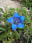 "Alpen-Enzian - Gentiana alpina; Bildquelle: <a href=""https://www.pflanzen-deutschland.de/quellen.php?bild_quelle=Wikipedia User Meneerke bloem"">Wikipedia User Meneerke bloem</a>; Bildlizenz: <a href=""https://creativecommons.org/licenses/by-sa/3.0/deed.de"" target=_blank title=""Namensnennung - Weitergabe unter gleichen Bedingungen 3.0 Unported (CC BY-SA 3.0)"">CC BY-SA 3.0</a>; <br>Wiki Commons Bildbeschreibung: <a href=""https://commons.wikimedia.org/wiki/File:Gentiana_alpina_002.jpg"" target=_blank title=""https://commons.wikimedia.org/wiki/File:Gentiana_alpina_002.jpg"">https://commons.wikimedia.org/wiki/File:Gentiana_alpina_002.jpg</a>"