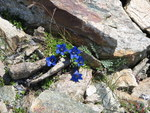 "Alpen-Enzian - Gentiana alpina; Bildquelle: <a href=""https://www.pflanzen-deutschland.de/quellen.php?bild_quelle=Wikipedia User Meneerke bloem"">Wikipedia User Meneerke bloem</a>; Bildlizenz: <a href=""https://creativecommons.org/licenses/by/4.0/deed.de"" target=_blank title=""Namensnennung 4.0 International (CC BY 4.0)"">CC BY 4.0</a>; <br>Wiki Commons Bildbeschreibung: <a href=""https://commons.wikimedia.org/wiki/File:Gentiana_alpina.jpg"" target=_blank title=""https://commons.wikimedia.org/wiki/File:Gentiana_alpina.jpg"">https://commons.wikimedia.org/wiki/File:Gentiana_alpina.jpg</a>"