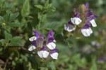 """Alpen-Helmkraut - Scutellaria alpina; Bildquelle: <a href=""""https://www.pflanzen-deutschland.de/quellen.php?bild_quelle=Wikipedia User Averater"""">Wikipedia User Averater</a>; Bildlizenz: <a href=""""https://creativecommons.org/licenses/by-sa/3.0/deed.de"""" target=_blank title=""""Namensnennung - Weitergabe unter gleichen Bedingungen 3.0 Unported (CC BY-SA 3.0)"""">CC BY-SA 3.0</a>; <br>Wiki Commons Bildbeschreibung: <a href=""""https://commons.wikimedia.org/wiki/File:Scutellaria_alpina_flowers_01.jpg"""" target=_blank title=""""https://commons.wikimedia.org/wiki/File:Scutellaria_alpina_flowers_01.jpg"""">https://commons.wikimedia.org/wiki/File:Scutellaria_alpina_flowers_01.jpg</a>"""