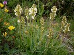 "Aufsteigendes Läusekraut - Pedicularis ascendens; Bildquelle: <a href=""https://www.pflanzen-deutschland.de/quellen.php?bild_quelle=Wikipedia User Meneerke bloem"">Wikipedia User Meneerke bloem</a>; Bildlizenz: <a href=""https://creativecommons.org/licenses/by-sa/3.0/deed.de"" target=_blank title=""Namensnennung - Weitergabe unter gleichen Bedingungen 3.0 Unported (CC BY-SA 3.0)"">CC BY-SA 3.0</a>; <br>Wiki Commons Bildbeschreibung: <a href=""https://commons.wikimedia.org/wiki/File:Pedicularis_ascendens01.jpg"" target=_blank title=""https://commons.wikimedia.org/wiki/File:Pedicularis_ascendens01.jpg"">https://commons.wikimedia.org/wiki/File:Pedicularis_ascendens01.jpg</a>"