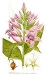 "Breitblättrige Glockenblume - Campanula latifolia; Bildquelle: <a href=""https://www.pflanzen-deutschland.de/quellen.php?bild_quelle=Carl Axel Magnus Lindman Bilder ur Nordens Flora 1901-1905"">Carl Axel Magnus Lindman Bilder ur Nordens Flora 1901-1905</a>; Bildlizenz: <a href=""https://creativecommons.org/licenses/publicdomain/deed.de"" target=_blank title=""Public Domain"">Public Domain</a>;"