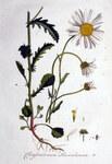 """Magerwiesen-Margerite - Chrysanthemum leucanthemum; Bildquelle: <a href=""""https://www.pflanzen-deutschland.de/quellen.php?bild_quelle=Wikipedia User FloraUploadR"""">Wikipedia User FloraUploadR</a>; Bildlizenz: <a href=""""https://creativecommons.org/publicdomain/zero/1.0/deed.de"""" target=_blank title=""""CC0 1.0 Universell (CC0 1.0)"""">CC0 1.0</a>; <br>Wiki Commons Bildbeschreibung: <a href=""""https://commons.wikimedia.org/wiki/File:Chrysanthemum_leucanthemum_%E2%80%94_Flora_Batava_%E2%80%94_Volume_v1.jpg"""" target=_blank title=""""https://commons.wikimedia.org/wiki/File:Chrysanthemum_leucanthemum_%E2%80%94_Flora_Batava_%E2%80%94_Volume_v1.jpg"""">https://commons.wikimedia.org/wiki/File:Chrysanthemum_leucanthemum_%E2%80%94_Flora_Batava_%E2%80%94_Volume_v1.jpg</a>"""