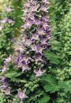 """Lombardische Glockenblume - Campanula elatinoides; Bildquelle: <a href=""""https://www.pflanzen-deutschland.de/quellen.php?bild_quelle=Wikipedia User Ghislain118"""">Wikipedia User Ghislain118</a>; Bildlizenz: <a href=""""https://creativecommons.org/licenses/by-sa/3.0/deed.de"""" target=_blank title=""""Namensnennung - Weitergabe unter gleichen Bedingungen 3.0 Unported (CC BY-SA 3.0)"""">CC BY-SA 3.0</a>; <br>Wiki Commons Bildbeschreibung: <a href=""""https://commons.wikimedia.org/wiki/File:Campanula_elatinoides_3.jpg"""" target=_blank title=""""https://commons.wikimedia.org/wiki/File:Campanula_elatinoides_3.jpg"""">https://commons.wikimedia.org/wiki/File:Campanula_elatinoides_3.jpg</a>"""