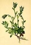 "Mont-Cenis-Glockenblume - Campanula cenisia; Bildquelle: <a href=""https://www.pflanzen-deutschland.de/quellen.php?bild_quelle=Anton Hartinger, Atlas der Alpenflora 1882"">Anton Hartinger, Atlas der Alpenflora 1882</a>; Bildlizenz: <a href=""https://creativecommons.org/licenses/publicdomain/deed.de"" target=_blank title=""Public Domain"">Public Domain</a>;"