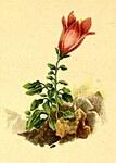 """Dolomiten-Glockenblume - Campanula morettiana; Bildquelle: <a href=""""https://www.pflanzen-deutschland.de/quellen.php?bild_quelle=Atlas der Alpenflora. Anton Hartinger 1882"""">Atlas der Alpenflora. Anton Hartinger 1882</a>; Bildlizenz: <a href=""""https://creativecommons.org/licenses/publicdomain/deed.de"""" target=_blank title=""""Public Domain"""">Public Domain</a>;"""