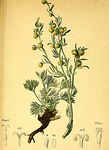"Echte Edelraute - Artemisia mutellina; Bildquelle: <a href=""https://www.pflanzen-deutschland.de/quellen.php?bild_quelle=Anton Hartinger, Atlas der Alpenflora 1882"">Anton Hartinger, Atlas der Alpenflora 1882</a>; Bildlizenz: <a href=""https://creativecommons.org/licenses/publicdomain/deed.de"" target=_blank title=""Public Domain"">Public Domain</a>;"