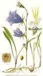 "Pfirsichblättrige Glockenblume - Campanula persicifolia; Bildquelle: <a href=""https://www.pflanzen-deutschland.de/quellen.php?bild_quelle=Carl Axel Magnus Lindman Bilder ur Nordens Flora 1901-1905"">Carl Axel Magnus Lindman Bilder ur Nordens Flora 1901-1905</a>; Bildlizenz: <a href=""https://creativecommons.org/licenses/publicdomain/deed.de"" target=_blank title=""Public Domain"">Public Domain</a>;"