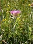 """Einköpfige Flockenblume - Centaurea uniflora; Bildquelle: <a href=""""https://www.pflanzen-deutschland.de/quellen.php?bild_quelle=Wikipedia User Meneerke bloem"""">Wikipedia User Meneerke bloem</a>; Bildlizenz: <a href=""""https://creativecommons.org/licenses/by-sa/3.0/deed.de"""" target=_blank title=""""Namensnennung - Weitergabe unter gleichen Bedingungen 3.0 Unported (CC BY-SA 3.0)"""">CC BY-SA 3.0</a>; <br>Wiki Commons Bildbeschreibung: <a href=""""https://commons.wikimedia.org/wiki/File:Centaurea_uniflora_002.jpg"""" target=_blank title=""""https://commons.wikimedia.org/wiki/File:Centaurea_uniflora_002.jpg"""">https://commons.wikimedia.org/wiki/File:Centaurea_uniflora_002.jpg</a>"""