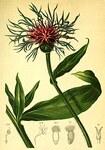 "Alpen-Flockenblume - Centaurea alpestris; Bildquelle: <a href=""https://www.pflanzen-deutschland.de/quellen.php?bild_quelle=Atlas der Alpenflora, Anton Hartinger 1882"">Atlas der Alpenflora, Anton Hartinger 1882</a>; Bildlizenz: <a href=""https://creativecommons.org/publicdomain/zero/1.0/deed.de"" target=_blank title=""CC0 1.0 Universell (CC0 1.0)"">CC0 1.0</a>; <br>Wiki Commons Bildbeschreibung: <a href=""https://commons.wikimedia.org/wiki/File:Centaurea_alpina_Atlas_Alpenflora.jpg"" target=_blank title=""https://commons.wikimedia.org/wiki/File:Centaurea_alpina_Atlas_Alpenflora.jpg"">https://commons.wikimedia.org/wiki/File:Centaurea_alpina_Atlas_Alpenflora.jpg</a>"