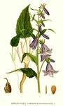 """Acker-Glockenblume - Campanula rapunculoides; Bildquelle: <a href=""""https://www.pflanzen-deutschland.de/quellen.php?bild_quelle=Carl Axel Magnus Lindman Bilder ur Nordens Flora 1901-1905"""">Carl Axel Magnus Lindman Bilder ur Nordens Flora 1901-1905</a>; Bildlizenz: <a href=""""https://creativecommons.org/licenses/publicdomain/deed.de"""" target=_blank title=""""Public Domain"""">Public Domain</a>;"""