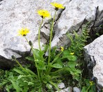"""Alpen-Kuhblume - Taraxacum alpinum; Bildquelle: <a href=""""https://www.pflanzen-deutschland.de/quellen.php?bild_quelle=Wikipedia User Selso"""">Wikipedia User Selso</a>; Bildlizenz: <a href=""""https://creativecommons.org/licenses/by-sa/3.0/deed.de"""" target=_blank title=""""Namensnennung - Weitergabe unter gleichen Bedingungen 3.0 Unported (CC BY-SA 3.0)"""">CC BY-SA 3.0</a>; <br>Wiki Commons Bildbeschreibung: <a href=""""https://commons.wikimedia.org/wiki/File:Taraxacum_alpinum_a1.jpg"""" target=_blank title=""""https://commons.wikimedia.org/wiki/File:Taraxacum_alpinum_a1.jpg"""">https://commons.wikimedia.org/wiki/File:Taraxacum_alpinum_a1.jpg</a>"""