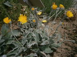 "Wolliges Habichtskraut - Hieracium lanatum; Bildquelle: <a href=""https://www.pflanzen-deutschland.de/quellen.php?bild_quelle=Wikipedia User Meneerke bloem"">Wikipedia User Meneerke bloem</a>; Bildlizenz: <a href=""https://creativecommons.org/licenses/by-sa/3.0/deed.de"" target=_blank title=""Namensnennung - Weitergabe unter gleichen Bedingungen 3.0 Unported (CC BY-SA 3.0)"">CC BY-SA 3.0</a>; <br>Wiki Commons Bildbeschreibung: <a href=""https://commons.wikimedia.org/wiki/File:Hieracium_lanatum_01.jpg"" target=_blank title=""https://commons.wikimedia.org/wiki/File:Hieracium_lanatum_01.jpg"">https://commons.wikimedia.org/wiki/File:Hieracium_lanatum_01.jpg</a>"
