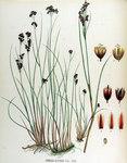 "Gebirgs-Binse - Juncus alpinoarticulatus; Bildquelle: <a href=""https://www.pflanzen-deutschland.de/quellen.php?bild_quelle=Flora Batava of Jan Kops  17651849 VIII Deel. 1844"">Flora Batava of Jan Kops  17651849 VIII Deel. 1844</a>; Bildlizenz: <a href=""https://creativecommons.org/licenses/publicdomain/deed.de"" target=_blank title=""Public Domain"">Public Domain</a>;"
