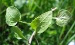 """Gewöhnliche Rundblättrige Glockenblume - Campanula rotundifolia; Bildquelle: <a href=""""https://www.pflanzen-deutschland.de/quellen.php?bild_quelle=Wikipedia User Fornax"""">Wikipedia User Fornax</a>; Bildlizenz: <a href=""""https://creativecommons.org/licenses/by-sa/3.0/deed.de"""" target=_blank title=""""Namensnennung - Weitergabe unter gleichen Bedingungen 3.0 Unported (CC BY-SA 3.0)"""">CC BY-SA 3.0</a>;"""