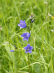 "Gewöhnliche Rundblättrige Glockenblume - Campanula rotundifolia; Bildquelle: <a href=""https://www.pflanzen-deutschland.de/quellen.php?bild_quelle=Wikipedia User Lycaon"">Wikipedia User Lycaon</a>; Bildlizenz: <a href=""https://creativecommons.org/licenses/by-sa/3.0/deed.de"" target=_blank title=""Namensnennung - Weitergabe unter gleichen Bedingungen 3.0 Unported (CC BY-SA 3.0)"">CC BY-SA 3.0</a>; <br>Wiki Commons Bildbeschreibung: <a href=""https://commons.wikimedia.org/wiki/File:Campanula_rotundifolia_(plant).jpg"" target=_blank title=""https://commons.wikimedia.org/wiki/File:Campanula_rotundifolia_(plant).jpg"">https://commons.wikimedia.org/wiki/File:Campanula_rotundifolia_(plant).jpg</a>"