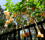 "Engelstrompete - Brugmansia spec.; Bildquelle: <a href=""https://www.pflanzen-deutschland.de/quellen.php?bild_quelle=Wikipedia User Josve05a"">Wikipedia User Josve05a</a>; Bildlizenz: <a href=""https://creativecommons.org/licenses/by-sa/3.0/deed.de"" target=_blank title=""Namensnennung - Weitergabe unter gleichen Bedingungen 3.0 Unported (CC BY-SA 3.0)"">CC BY-SA 3.0</a>; <br>Wiki Commons Bildbeschreibung: <a href=""https://commons.wikimedia.org/wiki/File:Datura_(or_new_classification_Brugmansia.)_._Colour....Grand_Marnier_-_Flickr_-_gailhampshire.jpg"" target=_blank title=""https://commons.wikimedia.org/wiki/File:Datura_(or_new_classification_Brugmansia.)_._Colour....Grand_Marnier_-_Flickr_-_gailhampshire.jpg"">https://commons.wikimedia.org/wiki/File:Datura_(or_new_classification_Brugmansia.)_._Colour....Grand_Marnier_-_Flickr_-_gailhampshire.jpg</a>"
