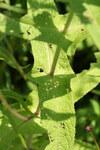 """Durchwachsener Wasserdost - Eupatorium perfoliatum; Bildquelle: <a href=""""https://www.pflanzen-deutschland.de/quellen.php?bild_quelle=Wikipedia User Nonenmac"""">Wikipedia User Nonenmac</a>; Bildlizenz: <a href=""""https://creativecommons.org/licenses/by/4.0/deed.de"""" target=_blank title=""""Namensnennung 4.0 International (CC BY 4.0)"""">CC BY 4.0</a>; <br>Wiki Commons Bildbeschreibung: <a href=""""https://commons.wikimedia.org/wiki/File:Eupatorium_perfoliatum_SCA-9257.jpg"""" target=_blank title=""""https://commons.wikimedia.org/wiki/File:Eupatorium_perfoliatum_SCA-9257.jpg"""">https://commons.wikimedia.org/wiki/File:Eupatorium_perfoliatum_SCA-9257.jpg</a>"""
