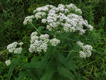 "Durchwachsener Wasserdost - Eupatorium perfoliatum; Bildquelle: <a href=""https://www.pflanzen-deutschland.de/quellen.php?bild_quelle=Wikipedia User Nonenmac"">Wikipedia User Nonenmac</a>; Bildlizenz: <a href=""https://creativecommons.org/licenses/by/4.0/deed.de"" target=_blank title=""Namensnennung 4.0 International (CC BY 4.0)"">CC BY 4.0</a>; <br>Wiki Commons Bildbeschreibung: <a href=""https://commons.wikimedia.org/wiki/File:Eupatorium_perfoliatum_SCA-04381.jpg"" target=_blank title=""https://commons.wikimedia.org/wiki/File:Eupatorium_perfoliatum_SCA-04381.jpg"">https://commons.wikimedia.org/wiki/File:Eupatorium_perfoliatum_SCA-04381.jpg</a>"