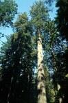 """Küsten-Mammutbaum - Sequoia sempervirens; Bildquelle: <a href=""""https://www.pflanzen-deutschland.de/quellen.php?bild_quelle=Wikipedia User H-stt"""">Wikipedia User H-stt</a>; Bildlizenz: <a href=""""https://creativecommons.org/licenses/publicdomain/deed.de"""" target=_blank title=""""Public Domain"""">Public Domain</a>;"""