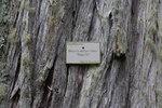 """Küsten-Mammutbaum - Sequoia sempervirens; Bildquelle: <a href=""""https://www.pflanzen-deutschland.de/quellen.php?bild_quelle=Wikipedia User Christer T Johansson"""">Wikipedia User Christer T Johansson</a>; Bildlizenz: <a href=""""https://creativecommons.org/licenses/by/4.0/deed.de"""" target=_blank title=""""Namensnennung 4.0 International (CC BY 4.0)"""">CC BY 4.0</a>; <br>Wiki Commons Bildbeschreibung: <a href=""""https://commons.wikimedia.org/wiki/File:Sequoia_sempervirens-IMG_8735.JPG"""" target=_blank title=""""https://commons.wikimedia.org/wiki/File:Sequoia_sempervirens-IMG_8735.JPG"""">https://commons.wikimedia.org/wiki/File:Sequoia_sempervirens-IMG_8735.JPG</a>"""