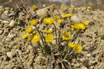 "Huflattich - Tussilago farfara; Bildquelle: &copy; <a href=""https://www.pflanzen-deutschland.de/quellen.php?bild_quelle=Bönisch 2016"">Bönisch 2016</a> - <b>All rights reserved</b>"