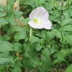 """Rosa Nachtkerze - Oenothera speciosa; Bildquelle: <a href=""""https://www.pflanzen-deutschland.de/quellen.php?bild_quelle=Wikipedia User Christer T Johansson"""">Wikipedia User Christer T Johansson</a>; Bildlizenz: <a href=""""https://creativecommons.org/licenses/by-sa/3.0/deed.de"""" target=_blank title=""""Namensnennung - Weitergabe unter gleichen Bedingungen 3.0 Unported (CC BY-SA 3.0)"""">CC BY-SA 3.0</a>; <br>Wiki Commons Bildbeschreibung: <a href=""""https://commons.wikimedia.org/wiki/File:Oenothera_speciosa-IMG_1578.jpg"""" target=_blank title=""""https://commons.wikimedia.org/wiki/File:Oenothera_speciosa-IMG_1578.jpg"""">https://commons.wikimedia.org/wiki/File:Oenothera_speciosa-IMG_1578.jpg</a>"""