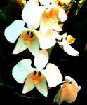 """Mondorchidee - Phalaenopsis amabilis; Bildquelle: <a href=""""https://www.pflanzen-deutschland.de/quellen.php?bild_quelle=Wikipedia User McZusatz"""">Wikipedia User McZusatz</a>; Bildlizenz: <a href=""""https://creativecommons.org/licenses/by-sa/2.0/deed.de"""" target=_blank title=""""Namensnennung - Weitergabe unter gleichen Bedingungen 2.0 Unported (CC BY-SA 2.0)"""">CC BY 2.0</a>; <br>Wiki Commons Bildbeschreibung: <a href=""""https://commons.wikimedia.org/wiki/File:Phalaenopsis_amabilis,_the_Moth_Orchid_(14323670462).jpg"""" target=_blank title=""""https://commons.wikimedia.org/wiki/File:Phalaenopsis_amabilis,_the_Moth_Orchid_(14323670462).jpg"""">https://commons.wikimedia.org/wiki/File:Phalaenopsis_amabilis,_the_Moth_Orchid_(14323670462).jpg</a>"""