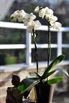 """Mondorchidee - Phalaenopsis amabilis; Bildquelle: <a href=""""https://www.pflanzen-deutschland.de/quellen.php?bild_quelle=Wikipedia User Paul Hermans"""">Wikipedia User Paul Hermans</a>; Bildlizenz: <a href=""""https://creativecommons.org/licenses/by-sa/3.0/deed.de"""" target=_blank title=""""Namensnennung - Weitergabe unter gleichen Bedingungen 3.0 Unported (CC BY-SA 3.0)"""">CC BY-SA 3.0</a>; <br>Wiki Commons Bildbeschreibung: <a href=""""https://commons.wikimedia.org/wiki/File:Phalaenopsis_amabilis_2-01-2010_14-18-05.JPG"""" target=_blank title=""""https://commons.wikimedia.org/wiki/File:Phalaenopsis_amabilis_2-01-2010_14-18-05.JPG"""">https://commons.wikimedia.org/wiki/File:Phalaenopsis_amabilis_2-01-2010_14-18-05.JPG</a>"""