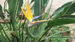 "Paradiesvogelblume - Strelitzia reginae ; Bildquelle: <a href=""https://www.pflanzen-deutschland.de/quellen.php?bild_quelle=Wikipedia User Yercaud-elango"">Wikipedia User Yercaud-elango</a>; Bildlizenz: <a href=""https://creativecommons.org/licenses/by/4.0/deed.de"" target=_blank title=""Namensnennung 4.0 International (CC BY 4.0)"">CC BY 4.0</a>; <br>Wiki Commons Bildbeschreibung: <a href=""https://commons.wikimedia.org/wiki/File:Strelitzia_reginae-3-yercaud-salem-India.JPG"" target=_blank title=""https://commons.wikimedia.org/wiki/File:Strelitzia_reginae-3-yercaud-salem-India.JPG"">https://commons.wikimedia.org/wiki/File:Strelitzia_reginae-3-yercaud-salem-India.JPG</a>"