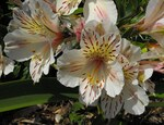 "Inkalilie - Alstroemeria spec.; Bildquelle: <a href=""https://www.pflanzen-deutschland.de/quellen.php?bild_quelle=Wikipedia User Stickpen"">Wikipedia User Stickpen</a>; Bildlizenz: <a href=""https://creativecommons.org/licenses/by-sa/3.0/deed.de"" target=_blank title=""Namensnennung - Weitergabe unter gleichen Bedingungen 3.0 Unported (CC BY-SA 3.0)"">CC BY-SA 3.0</a>; <br>Wiki Commons Bildbeschreibung: <a href=""https://commons.wikimedia.org/wiki/File:Alstroemeria-casablanca.jpg"" target=_blank title=""https://commons.wikimedia.org/wiki/File:Alstroemeria-casablanca.jpg"">https://commons.wikimedia.org/wiki/File:Alstroemeria-casablanca.jpg</a>"