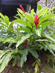 "Roter Ingwer - Alpinia purpurata; Bildquelle: <a href=""https://www.pflanzen-deutschland.de/quellen.php?bild_quelle=Wikipedia User Yercaud-elango"">Wikipedia User Yercaud-elango</a>; Bildlizenz: <a href=""https://creativecommons.org/licenses/by/4.0/deed.de"" target=_blank title=""Namensnennung 4.0 International (CC BY 4.0)"">CC BY 4.0</a>; <br>Wiki Commons Bildbeschreibung: <a href=""https://commons.wikimedia.org/wiki/File:Alpinia_purpurata-1-braemore-kerala-India.jpg"" target=_blank title=""https://commons.wikimedia.org/wiki/File:Alpinia_purpurata-1-braemore-kerala-India.jpg"">https://commons.wikimedia.org/wiki/File:Alpinia_purpurata-1-braemore-kerala-India.jpg</a>"