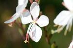 """Prachtkerze - Gaura lindheimeri; Bildquelle: <a href=""""https://www.pflanzen-deutschland.de/quellen.php?bild_quelle=Wikipedia User Amada44"""">Wikipedia User Amada44</a>; Bildlizenz: <a href=""""https://creativecommons.org/licenses/by-sa/3.0/deed.de"""" target=_blank title=""""Namensnennung - Weitergabe unter gleichen Bedingungen 3.0 Unported (CC BY-SA 3.0)"""">CC BY-SA 3.0</a>; <br>Wiki Commons Bildbeschreibung: <a href=""""https://commons.wikimedia.org/wiki/File:Oenothera_lindheimeri_4466.jpg"""" target=_blank title=""""https://commons.wikimedia.org/wiki/File:Oenothera_lindheimeri_4466.jpg"""">https://commons.wikimedia.org/wiki/File:Oenothera_lindheimeri_4466.jpg</a>"""