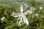 """Prachtkerze - Gaura lindheimeri; Bildquelle: <a href=""""https://www.pflanzen-deutschland.de/quellen.php?bild_quelle=Wikipedia User Kenraiz"""">Wikipedia User Kenraiz</a>; Bildlizenz: <a href=""""https://creativecommons.org/licenses/by/4.0/deed.de"""" target=_blank title=""""Namensnennung 4.0 International (CC BY 4.0)"""">CC BY 4.0</a>; <br>Wiki Commons Bildbeschreibung: <a href=""""https://commons.wikimedia.org/wiki/File:Oenothera_lindheimeri_kz1.jpg"""" target=_blank title=""""https://commons.wikimedia.org/wiki/File:Oenothera_lindheimeri_kz1.jpg"""">https://commons.wikimedia.org/wiki/File:Oenothera_lindheimeri_kz1.jpg</a>"""