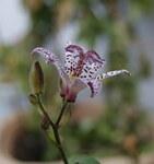 """Japanische Krötenlilie - Tricyrtis hirta; Bildquelle: <a href=""""https://www.pflanzen-deutschland.de/quellen.php?bild_quelle=Wikipedia User Danny S."""">Wikipedia User Danny S.</a>; Bildlizenz: <a href=""""https://creativecommons.org/licenses/by/4.0/deed.de"""" target=_blank title=""""Namensnennung 4.0 International (CC BY 4.0)"""">CC BY 4.0</a>; <br>Wiki Commons Bildbeschreibung: <a href=""""https://commons.wikimedia.org/wiki/File:Tricyrtis_hirta,_Liliaceae_1.jpg"""" target=_blank title=""""https://commons.wikimedia.org/wiki/File:Tricyrtis_hirta,_Liliaceae_1.jpg"""">https://commons.wikimedia.org/wiki/File:Tricyrtis_hirta,_Liliaceae_1.jpg</a>"""