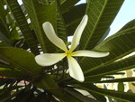 "Plumeria - Plumeria spec.; Bildquelle: <a href=""https://www.pflanzen-deutschland.de/quellen.php?bild_quelle=Wikipedia User Sreejithk2000"">Wikipedia User Sreejithk2000</a>; Bildlizenz: <a href=""https://creativecommons.org/licenses/by-sa/2.0/deed.de"" target=_blank title=""Namensnennung - Weitergabe unter gleichen Bedingungen 2.0 Unported (CC BY-SA 2.0)"">CC BY 2.0</a>; <br>Wiki Commons Bildbeschreibung: <a href=""https://commons.wikimedia.org/wiki/File:Plumeria_(323891648).jpg"" target=_blank title=""https://commons.wikimedia.org/wiki/File:Plumeria_(323891648).jpg"">https://commons.wikimedia.org/wiki/File:Plumeria_(323891648).jpg</a>"