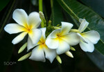 "Plumeria - Plumeria spec.; Bildquelle: <a href=""https://www.pflanzen-deutschland.de/quellen.php?bild_quelle=Wikipedia User Rodrigo.Argenton"">Wikipedia User Rodrigo.Argenton</a>; Bildlizenz: <a href=""https://creativecommons.org/licenses/by-sa/3.0/deed.de"" target=_blank title=""Namensnennung - Weitergabe unter gleichen Bedingungen 3.0 Unported (CC BY-SA 3.0)"">CC BY-SA 3.0</a>; <br>Wiki Commons Bildbeschreibung: <a href=""https://commons.wikimedia.org/wiki/File:Plumeria_(131608717).jpeg"" target=_blank title=""https://commons.wikimedia.org/wiki/File:Plumeria_(131608717).jpeg"">https://commons.wikimedia.org/wiki/File:Plumeria_(131608717).jpeg</a>"