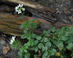 """Bitteres Schaumkraut - Cardamine amara; Bildquelle: <a href=""""https://www.pflanzen-deutschland.de/quellen.php?bild_quelle=Wikipedia User Sporti"""">Wikipedia User Sporti</a>; Bildlizenz: <a href=""""https://creativecommons.org/licenses/by-sa/3.0/deed.de"""" target=_blank title=""""Namensnennung - Weitergabe unter gleichen Bedingungen 3.0 Unported (CC BY-SA 3.0)"""">CC BY-SA 3.0</a>; <br>Wiki Commons Bildbeschreibung: <a href=""""https://commons.wikimedia.org/wiki/File:Cardamine_amara_PID2002-1.jpg"""" target=_blank title=""""https://commons.wikimedia.org/wiki/File:Cardamine_amara_PID2002-1.jpg"""">https://commons.wikimedia.org/wiki/File:Cardamine_amara_PID2002-1.jpg</a>"""