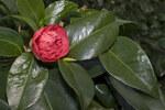 """Kamelie - Camellia japonica; Bildquelle: <a href=""""https://www.pflanzen-deutschland.de/quellen.php?bild_quelle=Wikipedia User Olei"""">Wikipedia User Olei</a>; Bildlizenz: <a href=""""https://creativecommons.org/licenses/by-sa/3.0/deed.de"""" target=_blank title=""""Namensnennung - Weitergabe unter gleichen Bedingungen 3.0 Unported (CC BY-SA 3.0)"""">CC BY-SA 3.0</a>; <br>Wiki Commons Bildbeschreibung: <a href=""""https://commons.wikimedia.org/wiki/File:Camellia.japonica.cv.Anemoniflora.7165.jpg"""" target=_blank title=""""https://commons.wikimedia.org/wiki/File:Camellia.japonica.cv.Anemoniflora.7165.jpg"""">https://commons.wikimedia.org/wiki/File:Camellia.japonica.cv.Anemoniflora.7165.jpg</a>"""