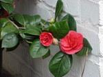 """Kamelie - Camellia japonica; Bildquelle: <a href=""""https://www.pflanzen-deutschland.de/quellen.php?bild_quelle=Wikipedia User Topjabot"""">Wikipedia User Topjabot</a>; Bildlizenz: <a href=""""https://creativecommons.org/licenses/by-sa/3.0/deed.de"""" target=_blank title=""""Namensnennung - Weitergabe unter gleichen Bedingungen 3.0 Unported (CC BY-SA 3.0)"""">CC BY-SA 3.0</a>; <br>Wiki Commons Bildbeschreibung: <a href=""""https://commons.wikimedia.org/wiki/File:Camellia_japonica1.jpg"""" target=_blank title=""""https://commons.wikimedia.org/wiki/File:Camellia_japonica1.jpg"""">https://commons.wikimedia.org/wiki/File:Camellia_japonica1.jpg</a>"""