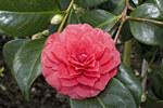 """Kamelie - Camellia japonica; Bildquelle: <a href=""""https://www.pflanzen-deutschland.de/quellen.php?bild_quelle=Wikipedia User Olei"""">Wikipedia User Olei</a>; Bildlizenz: <a href=""""https://creativecommons.org/licenses/by-sa/2.5/deed.de"""" target=_blank title=""""Namensnennung - Weitergabe unter gleichen Bedingungen 2.5 Unported (CC BY-SA 2.5)"""">CC BY 2.5</a>; <br>Wiki Commons Bildbeschreibung: <a href=""""https://commons.wikimedia.org/wiki/File:Camellia.japonica.cv.Delfosse.7170.jpg"""" target=_blank title=""""https://commons.wikimedia.org/wiki/File:Camellia.japonica.cv.Delfosse.7170.jpg"""">https://commons.wikimedia.org/wiki/File:Camellia.japonica.cv.Delfosse.7170.jpg</a>"""