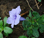 "Ruellien - Ruellia spec.; Bildquelle: <a href=""https://www.pflanzen-deutschland.de/quellen.php?bild_quelle=Wikipedia User Uleli"">Wikipedia User Uleli</a>; Bildlizenz: <a href=""https://creativecommons.org/licenses/by-sa/2.0/deed.de"" target=_blank title=""Namensnennung - Weitergabe unter gleichen Bedingungen 2.0 Unported (CC BY-SA 2.0)"">CC BY 2.0</a>; <br>Wiki Commons Bildbeschreibung: <a href=""https://commons.wikimedia.org/wiki/File:Ruellia_tuberosa,_known_as_Fever_Root_(13924836845).jpg"" target=_blank title=""https://commons.wikimedia.org/wiki/File:Ruellia_tuberosa,_known_as_Fever_Root_(13924836845).jpg"">https://commons.wikimedia.org/wiki/File:Ruellia_tuberosa,_known_as_Fever_Root_(13924836845).jpg</a>"