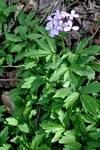 """Zwiebel-Zahnwurz - Dentaria bulbifera; Bildquelle: <a href=""""https://www.pflanzen-deutschland.de/quellen.php?bild_quelle=Wikipedia User Lazaregagnidze"""">Wikipedia User Lazaregagnidze</a>; Bildlizenz: <a href=""""https://creativecommons.org/licenses/by/4.0/deed.de"""" target=_blank title=""""Namensnennung 4.0 International (CC BY 4.0)"""">CC BY 4.0</a>; <br>Wiki Commons Bildbeschreibung: <a href=""""https://commons.wikimedia.org/wiki/File:Dentaria_bulbifera_Coral_Root_Bittercress_%E1%83%A2%E1%83%A7%E1%83%98%E1%83%A1_%E1%83%91%E1%83%9D%E1%83%9A%E1%83%9D%E1%83%99%E1%83%90.JPG"""" target=_blank title=""""https://commons.wikimedia.org/wiki/File:Dentaria_bulbifera_Coral_Root_Bittercress_%E1%83%A2%E1%83%A7%E1%83%98%E1%83%A1_%E1%83%91%E1%83%9D%E1%83%9A%E1%83%9D%E1%83%99%E1%83%90.JPG"""">https://commons.wikimedia.org/wiki/File:Dentaria_bulbifera_Coral_Root_Bittercress_%E1%83%A2%E1%83%A7%E1%83%98%E1%83%A1_%E1%83%91%E1%83%9D%E1%83%9A%E1%83%9D%E1%83%99%E1%83%90.JPG</a>"""