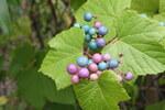 """Ussuri-Scheinrebe - Ampelopsis brevipedunculata; Bildquelle: <a href=""""https://www.pflanzen-deutschland.de/quellen.php?bild_quelle=Wikipedia User Ovp"""">Wikipedia User Ovp</a>; Bildlizenz: <a href=""""https://creativecommons.org/licenses/by-sa/3.0/deed.de"""" target=_blank title=""""Namensnennung - Weitergabe unter gleichen Bedingungen 3.0 Unported (CC BY-SA 3.0)"""">CC BY-SA 3.0</a>; <br>Wiki Commons Bildbeschreibung: <a href=""""https://commons.wikimedia.org/wiki/File:Ampelopsis-brevipedunculata.JPG"""" target=_blank title=""""https://commons.wikimedia.org/wiki/File:Ampelopsis-brevipedunculata.JPG"""">https://commons.wikimedia.org/wiki/File:Ampelopsis-brevipedunculata.JPG</a>"""