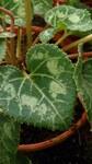 """Alpenveilchen - Cyclamen persicum; Bildquelle: <a href=""""https://www.pflanzen-deutschland.de/quellen.php?bild_quelle=Wikipedia User Mokkie"""">Wikipedia User Mokkie</a>; Bildlizenz: <a href=""""https://creativecommons.org/licenses/by-sa/3.0/deed.de"""" target=_blank title=""""Namensnennung - Weitergabe unter gleichen Bedingungen 3.0 Unported (CC BY-SA 3.0)"""">CC BY-SA 3.0</a>; <br>Wiki Commons Bildbeschreibung: <a href=""""https://commons.wikimedia.org/wiki/File:Cyclamen_sp_3.jpg"""" target=_blank title=""""https://commons.wikimedia.org/wiki/File:Cyclamen_sp_3.jpg"""">https://commons.wikimedia.org/wiki/File:Cyclamen_sp_3.jpg</a>"""
