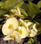 """Christusdorn - Euphorbia milii; Bildquelle: <a href=""""https://www.pflanzen-deutschland.de/quellen.php?bild_quelle=Wikipedia User Aftabbanoori"""">Wikipedia User Aftabbanoori</a>; Bildlizenz: <a href=""""https://creativecommons.org/licenses/by-sa/3.0/deed.de"""" target=_blank title=""""Namensnennung - Weitergabe unter gleichen Bedingungen 3.0 Unported (CC BY-SA 3.0)"""">CC BY-SA 3.0</a>; <br>Wiki Commons Bildbeschreibung: <a href=""""https://commons.wikimedia.org/wiki/File:Euphorbia_milii-1.jpg"""" target=_blank title=""""https://commons.wikimedia.org/wiki/File:Euphorbia_milii-1.jpg"""">https://commons.wikimedia.org/wiki/File:Euphorbia_milii-1.jpg</a>"""