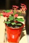 """Christusdorn - Euphorbia milii; Bildquelle: <a href=""""https://www.pflanzen-deutschland.de/quellen.php?bild_quelle=Wikipedia User Biloucommonswiki"""">Wikipedia User Biloucommonswiki</a>; Bildlizenz: <a href=""""https://creativecommons.org/licenses/by-sa/3.0/deed.de"""" target=_blank title=""""Namensnennung - Weitergabe unter gleichen Bedingungen 3.0 Unported (CC BY-SA 3.0)"""">CC BY-SA 3.0</a>; <br>Wiki Commons Bildbeschreibung: <a href=""""https://commons.wikimedia.org/wiki/File:Euphorbia_milii.jpg"""" target=_blank title=""""https://commons.wikimedia.org/wiki/File:Euphorbia_milii.jpg"""">https://commons.wikimedia.org/wiki/File:Euphorbia_milii.jpg</a>"""