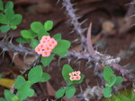 """Christusdorn - Euphorbia milii; Bildquelle: <a href=""""https://www.pflanzen-deutschland.de/quellen.php?bild_quelle=Wikipedia User Sreejithk2000"""">Wikipedia User Sreejithk2000</a>; Bildlizenz: <a href=""""https://creativecommons.org/licenses/by-sa/2.0/deed.de"""" target=_blank title=""""Namensnennung - Weitergabe unter gleichen Bedingungen 2.0 Unported (CC BY-SA 2.0)"""">CC BY 2.0</a>; <br>Wiki Commons Bildbeschreibung: <a href=""""https://commons.wikimedia.org/wiki/File:Euphorbia_milii_(463000588).jpg"""" target=_blank title=""""https://commons.wikimedia.org/wiki/File:Euphorbia_milii_(463000588).jpg"""">https://commons.wikimedia.org/wiki/File:Euphorbia_milii_(463000588).jpg</a>"""
