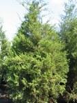 "Virginischer Wacholder - Juniperus virginiana; Bildquelle: <a href=""https://www.pflanzen-deutschland.de/quellen.php?bild_quelle=Wikipedia User David Stang"">Wikipedia User David Stang</a>; Bildlizenz: <a href=""https://creativecommons.org/licenses/by/4.0/deed.de"" target=_blank title=""Namensnennung 4.0 International (CC BY 4.0)"">CC BY 4.0</a>; <br>Wiki Commons Bildbeschreibung: <a href=""https://commons.wikimedia.org/wiki/File:Juniperus_virginiana_14zz.jpg"" target=_blank title=""https://commons.wikimedia.org/wiki/File:Juniperus_virginiana_14zz.jpg"">https://commons.wikimedia.org/wiki/File:Juniperus_virginiana_14zz.jpg</a>"