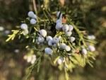 """Virginischer Wacholder - Juniperus virginiana; Bildquelle: <a href=""""https://www.pflanzen-deutschland.de/quellen.php?bild_quelle=Wikipedia User GeoO"""">Wikipedia User GeoO</a>; Bildlizenz: <a href=""""https://creativecommons.org/licenses/by/4.0/deed.de"""" target=_blank title=""""Namensnennung 4.0 International (CC BY 4.0)"""">CC BY 4.0</a>; <br>Wiki Commons Bildbeschreibung: <a href=""""https://commons.wikimedia.org/wiki/File:Juniperus_virginiana,_Yerevan_Botanical_Garden.jpg"""" target=_blank title=""""https://commons.wikimedia.org/wiki/File:Juniperus_virginiana,_Yerevan_Botanical_Garden.jpg"""">https://commons.wikimedia.org/wiki/File:Juniperus_virginiana,_Yerevan_Botanical_Garden.jpg</a>"""