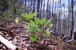"""Quirlblättrige Zahnwurz - Dentaria enneaphyllos; Bildquelle: © <a href=""""https://www.pflanzen-deutschland.de/quellen.php?bild_quelle=Dr. med. Frank Meyer, Nürnberg, """">Dr. med. Frank Meyer, Nürnberg, </a> - <b>All rights reserved</b>"""